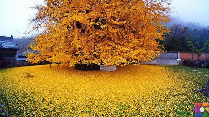 Ginkgo Biloba Nedir? Ginkgo Biloba'nın Faydaları ve Zararları nelerdir? | Japonya'daki Asırlık Ginkgo ağacı