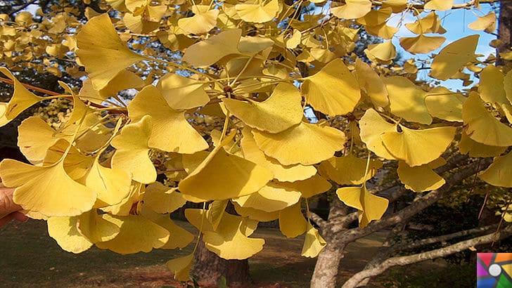 Ginkgo Biloba Nedir? Ginkgo Biloba'nın Faydaları ve Zararları nelerdir? | Ginkgo ağacı yaprakları sonbaharda sarı rengine bürünür