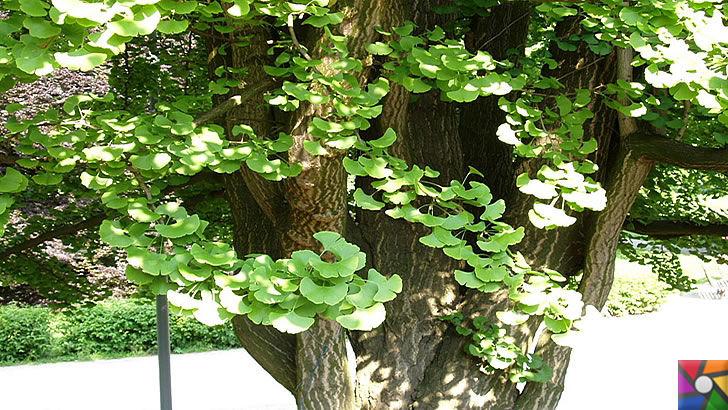 Ginkgo Biloba Nedir? Ginkgo Biloba'nın Faydaları ve Zararları nelerdir? | Ginkgo ağacı yeni yaprakları ilk baharda açmaya başlar