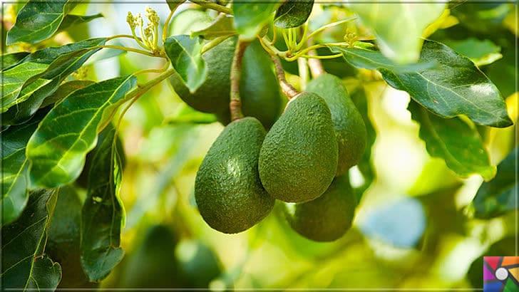 Neden Avokado yemeliyiz? Süper besin Avokadonun faydaları nelerdir? | Avokado Meyvesi