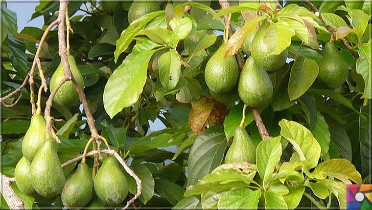 Neden Avokado yemeliyiz? Süper besin Avokadonun faydaları nelerdir? | Avokado Meyvesi | Akdeniz Bölgesinde Avokado artık yetişmekte