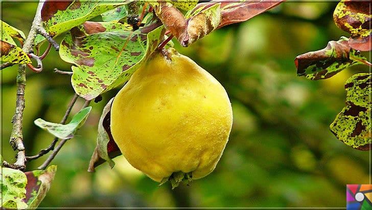 Potasyum deposu Ayvanın faydaları nelerdir? Ayva çekirdeği zararlı mı? | Ayva sonbahar ve kış mevsiminde bolca tüketilecek meyvelerden biridir