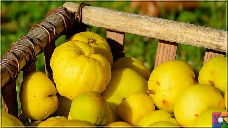 Potasyum deposu Ayvanın faydaları nelerdir? Ayva çekirdeği zararlı mı? | Türkiye'de en çok bulunan meyvelerden biri de Ayvadır