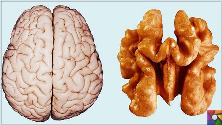 Kalp ve Damar sağlığı için neden Ceviz yenmeli? Cevizin müthiş faydaları | Süper besin Ceviz, ne kadarda beyine benziyor değil mi?