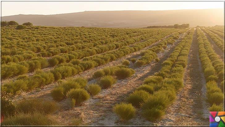 Rooibos Çayı zayıflatır mı? Rooibos Çayının yararları ve zararları nelerdir? | Güney Afrika kökenliAspalathus linearis bitkisi