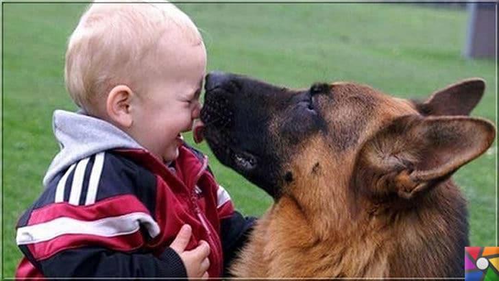 Alman Kurdu olarak bilinen Alman Çoban Köpeğinin harika özellikleri | Alman Çoban Köpeği (Alman Kurdu) sizin sevdiklerini sever ve onlara sahip çıkar