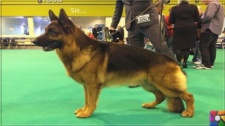 Alman Kurdu olarak bilinen Alman Çoban Köpeğinin harika özellikleri | Yarışmalara katılan örnek bir Alman Çoban Köpeği (Alman Kurdu) fotoğrafı