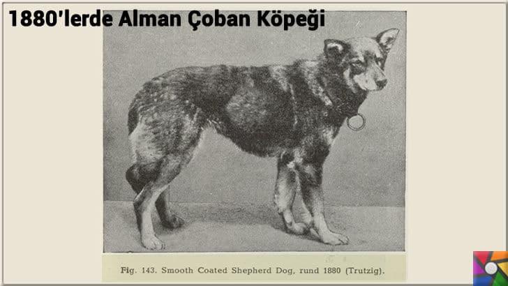 Alman Kurdu olarak bilinen Alman Çoban Köpeğinin harika özellikleri | 1900'lerden önceki Alman Çoban Köpeği fotoğrafı