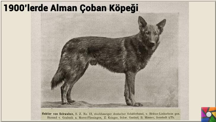 Alman Kurdu olarak bilinen Alman Çoban Köpeğinin harika özellikleri | 1900'lerden sonra değiştirilen ilk Alman Çoban Köpeği fotoğrafı
