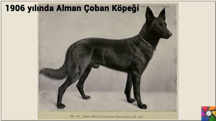 Alman Kurdu olarak bilinen Alman Çoban Köpeğinin harika özellikleri | 1900'lerden sonra değiştirilen yeni ırk Alman Çoban Köpeği fotoğrafı