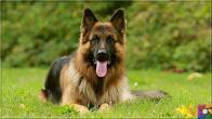 Alman Kurdu olarak bilinen Alman Çoban Köpeğinin harika özellikleri