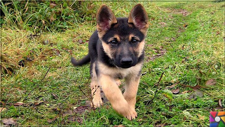 Alman Kurdu olarak bilinen Alman Çoban Köpeğinin harika özellikleri | Alman Çoban Köpeği (Alman Kurdu) yavrusu alırken seceresine bakınız