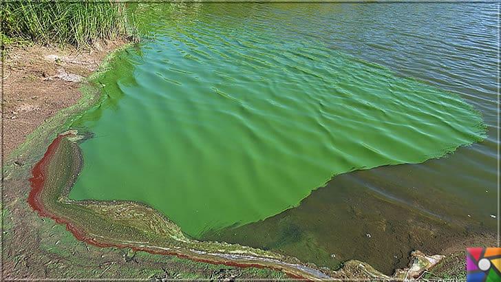 Dünyayı yaşanabilir hale getiren hayat kaynağı oksijen nasıl oluştu? | Siyanobakteri (Cyanobacteria) günümüzde göllerde ve denizlerde yeşil-mavi tabakayı oluşturuyor