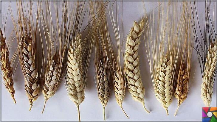 Neden buğday yemeliyiz? Buğdayın sağlık açısından bilinmeyen yönleri | Buğday başakları