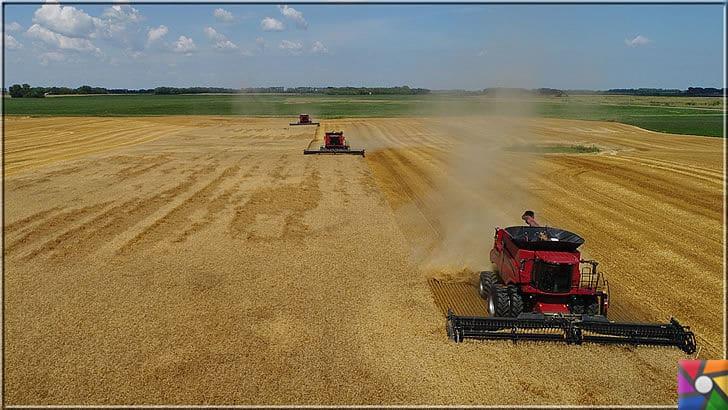 Neden buğday yemeliyiz? Buğdayın sağlık açısından bilinmeyen yönleri | Buğday başaklarının hasat zamanı