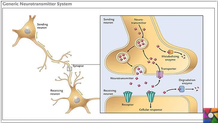 Dopamin Nedir? Dopamin eksikliği nasıl anlaşılır? Dopamin nasıl arttırılır? | Sinir hücreleri arasında iletişimi kuran kimyasallara nörotransmitter denir