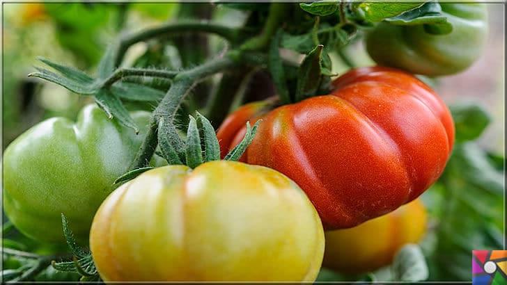 Domates neden yenmeli? Domatesin faydaları ve zararları nelerdir? | organik üretilen domatesler şekil olarak biraz kaba renk olarak da biraz açık kırmızıya kaçsa bile, tadı çok lezzetlidir. Hem sağlık hemde lezzet için organik domates alın yada balkon yada bahçede kendiniz üretin