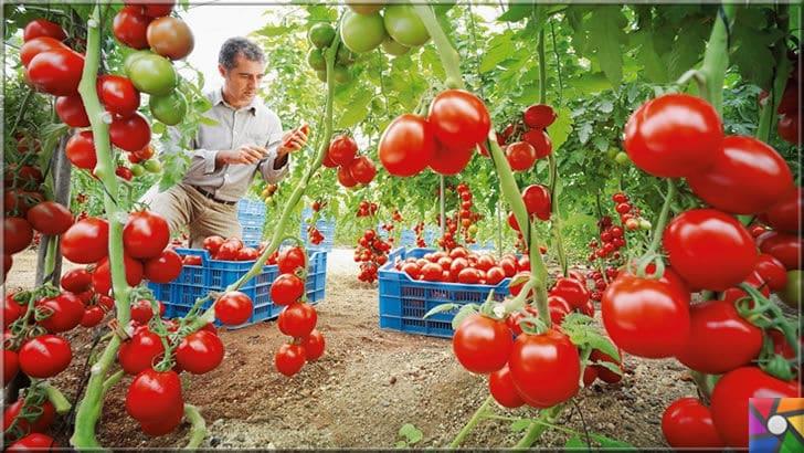 Domates neden yenmeli? Domatesin faydaları ve zararları nelerdir? | Türkiye domates üretiminde dünyada 5. sırada