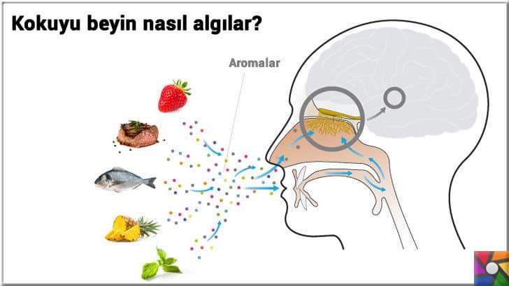Domatesin tadı neden eskisi gibi değil? Neden gıdalara aroma katılıyor? | Beyin kokuyu nasıl algılar?