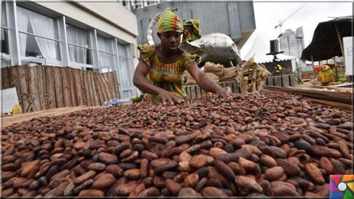 Dünyanın sonu mu geliyor? Durdurulamaz 6 kitlesel yok oluş | Dünya Bankası'na göre Fildişi Sahili'nin gayrisafi yurtiçi hasılasının yüzde 15'ini kakao üretimi oluşturuyor