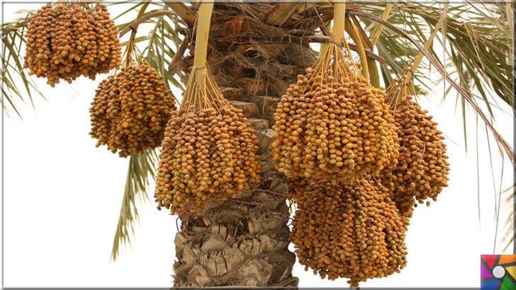 9 bin yıldır sofralardan eksik olmayan Hurmanın faydaları nelerdir? | Sarı hurma palmiyesi, kuruduğunda sarı ve benzer tondaki renkleri alır