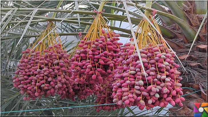 9 bin yıldır sofralardan eksik olmayan Hurmanın faydaları nelerdir? | Mor hurma palmiyesi, kuruduğunda kahverengi ve koyu tondaki renkleri alır