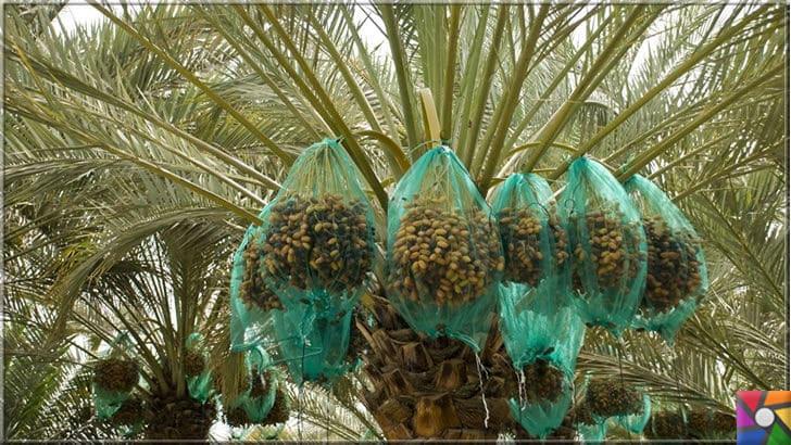 9 bin yıldır sofralardan eksik olmayan Hurmanın faydaları nelerdir? | Hurma ağacı bir palmiye türüdür