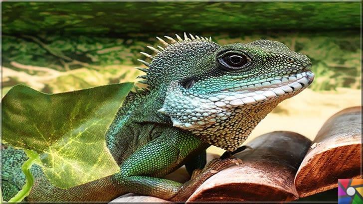 Paludaryum nedir? Paludaryum nasıl oluşur? Paludaryum nasıl yapılır? | Paludaryumun olmazsa olmazı iguana