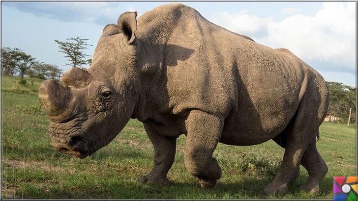 200 yıl sonra nesli tükenmeyen tek iri hayvan inek olacak! | Soyu tükenmiş iri hayvanlar listesine giren Beyaz Gergedan