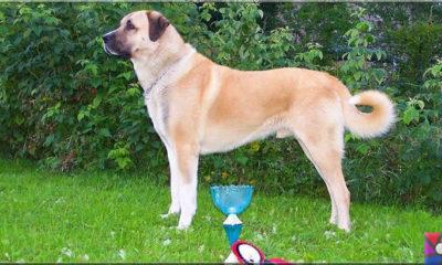 Koruyup kollamak üzerine yaratılmış bir köpek ırkı: Sivas Kangal Köpekleri