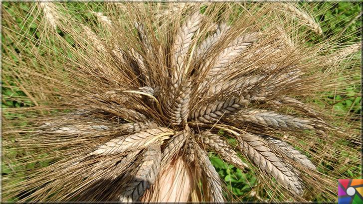 Siyez buğdayı nedir? Siyez bulguru nedir? Faydaları nelerdir? | Kastamonu'da asırlardır siyez buğdayı genetiği değiştirilmeden üretilmekte