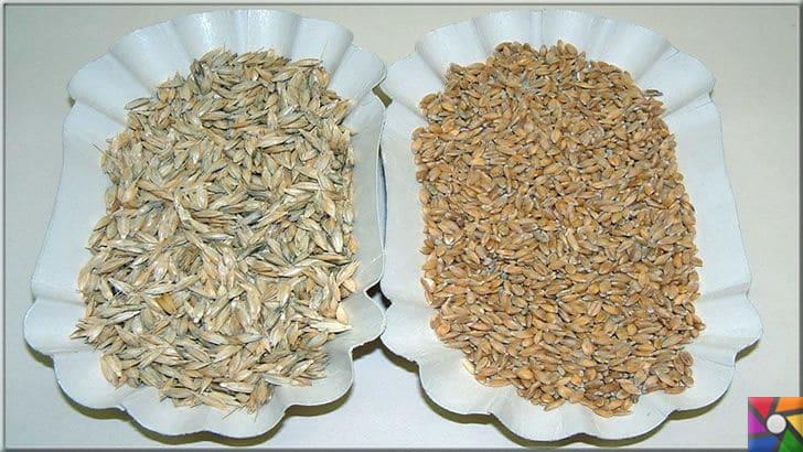 Siyez buğdayı nedir? Siyez bulguru nedir? Faydaları nelerdir? | Siyez Buğdayı