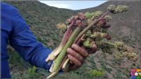 Uçkun (Reun Ribes) nedir? Uçkunun faydaları ve zararları nelerdir?