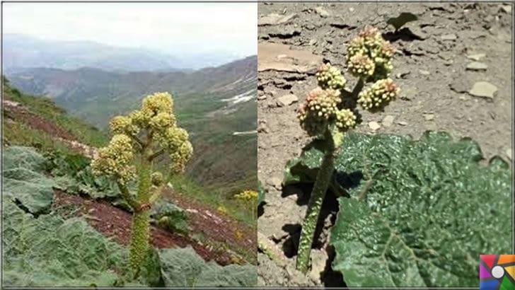 Uçkun (Reun Ribes) nedir? Uçkunun faydaları ve zararları nelerdir? | Doğu Anadolu bölgesindeki yaylalarda ona yayla muzu denmektedir