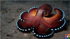 Denizlerin zeki ve gizemli yaratığı Ahtapotların bilinmeyen özellikleri