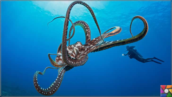 Denizlerin zeki ve gizemli yaratığı Ahtapotların bilinmeyen özellikleri | Denizlerin en zeki canlılarından biri Ahtapot'dur