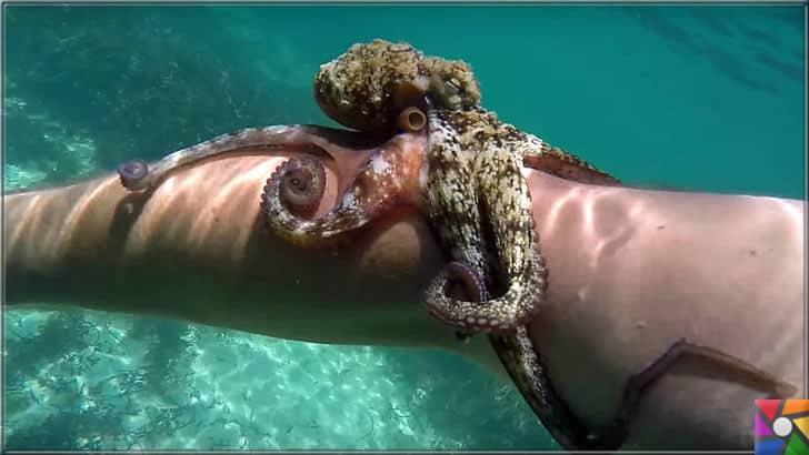 Denizlerin zeki ve gizemli yaratığı Ahtapotların bilinmeyen özellikleri | Yavru Ahtopot