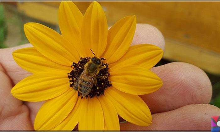 Bal arısı neden önemli? Arılar ölürse neden dünya da yaşam sona erir?