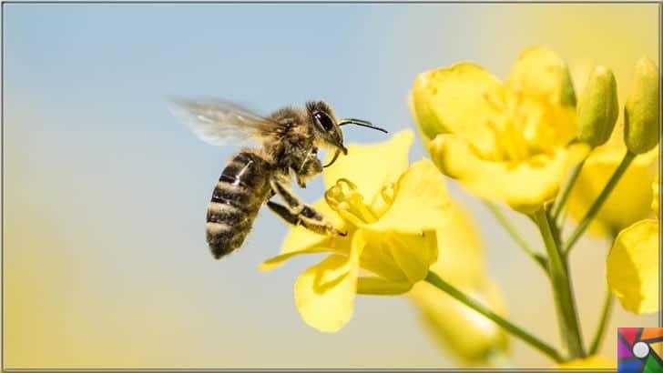 Bal arısı neden önemli? Arılar ölürse neden dünya da yaşam sona erir? | Bal arıları dünya yaşamı için çok gerekli