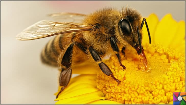 Bal arısı neden önemli? Arılar ölürse neden dünya da yaşam sona erir? | Bal arıları balı kendi için yaparlar
