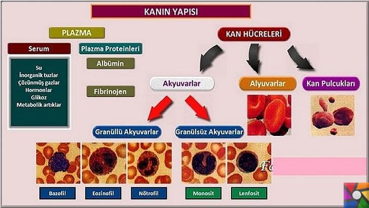 Kan nedir? Kanın yapısı ve özellikleri nelerdir? Yapay kan nedir? | Kanın içeriği yada kanın yapısı içinde bağışıklık sistemi için savaşan hücreler barındırır