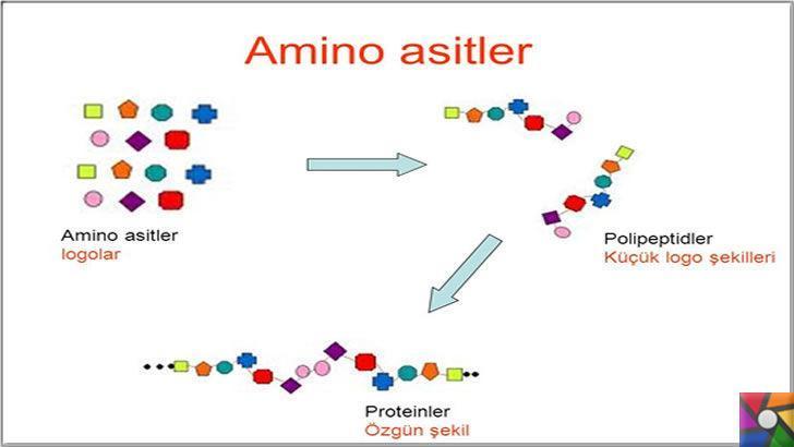 Amino Asitler birleşerek Proteinleri oluşturur