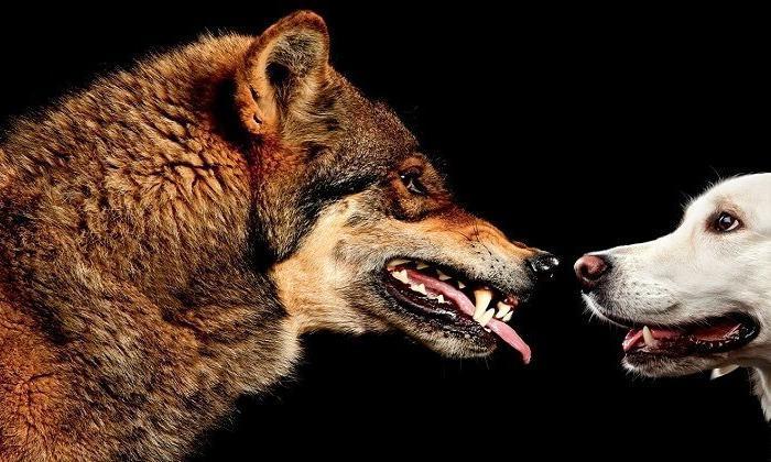 Köpeklerin evrimi ve insanla yakınlaşması ne zaman oldu?
