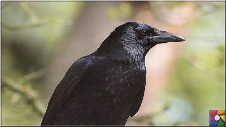 Kargagiller ailesinin en zeki kuşu Kuzgunların bilinmeyen özellikleri
