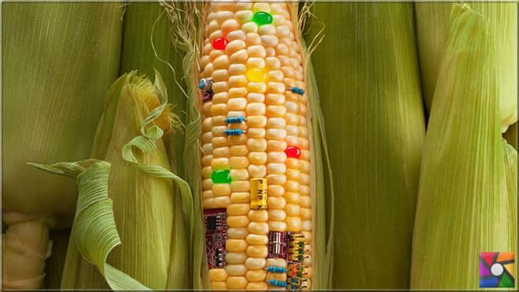 GMO yada GDO en çok Mısır da adı geçiyor