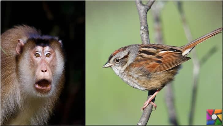 Makak maymunu ve bataklık serçesi