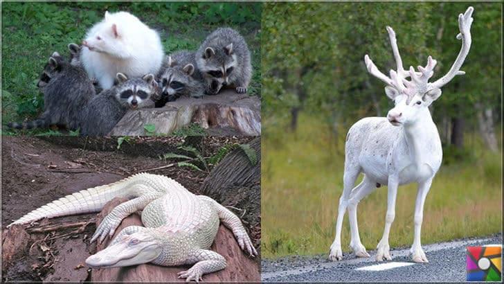 Albino geyik, timsah ve rakun