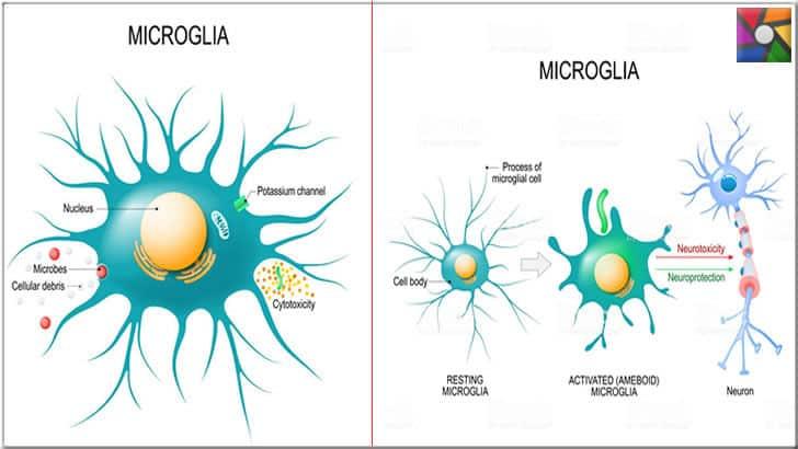 Microglia hücreleri
