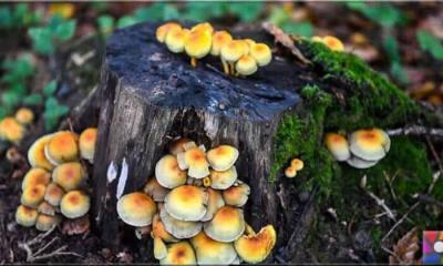 Ekoloji tarihindeki en tehlikeli ve ölümcül mantar: Chytrid mantarı