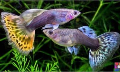 Büyük beyinli balıklar neden erken ölür?